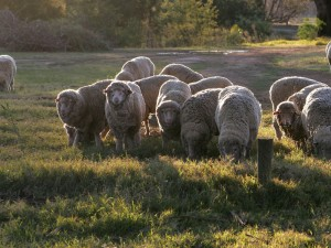 800px-Sheep_in_group